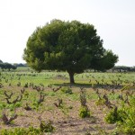 A vineyard in the heart of Mozia