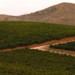 Vineyards in the province of Palermo